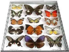 Butterflies of the Amazon